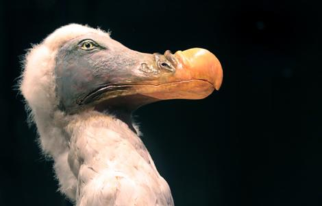 The dodo. Photo by Becky Farmer.
